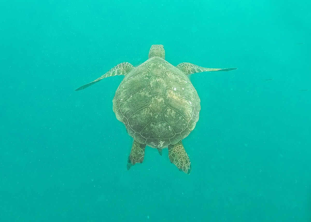 underwater sea turtle in rarotonga