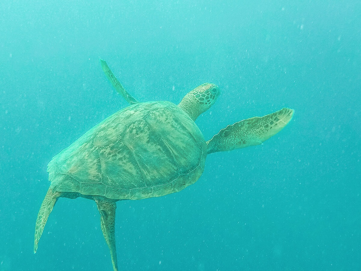 turtle swimming underwater in rarotonga