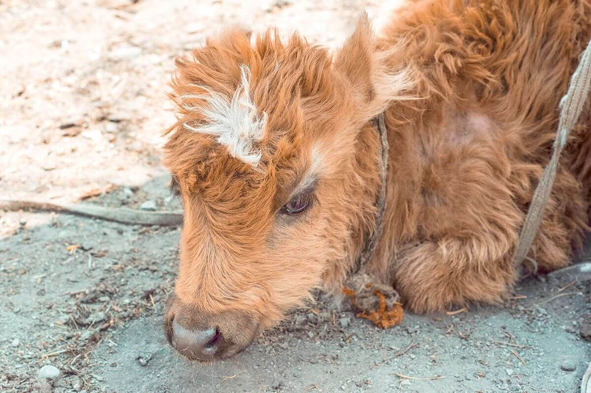 baby calf muktinath to jomsom on the annapurna circuit