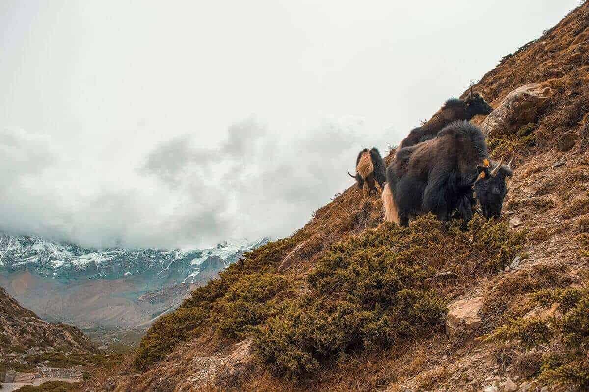 yaks and mountains annapurna circuit itinerary