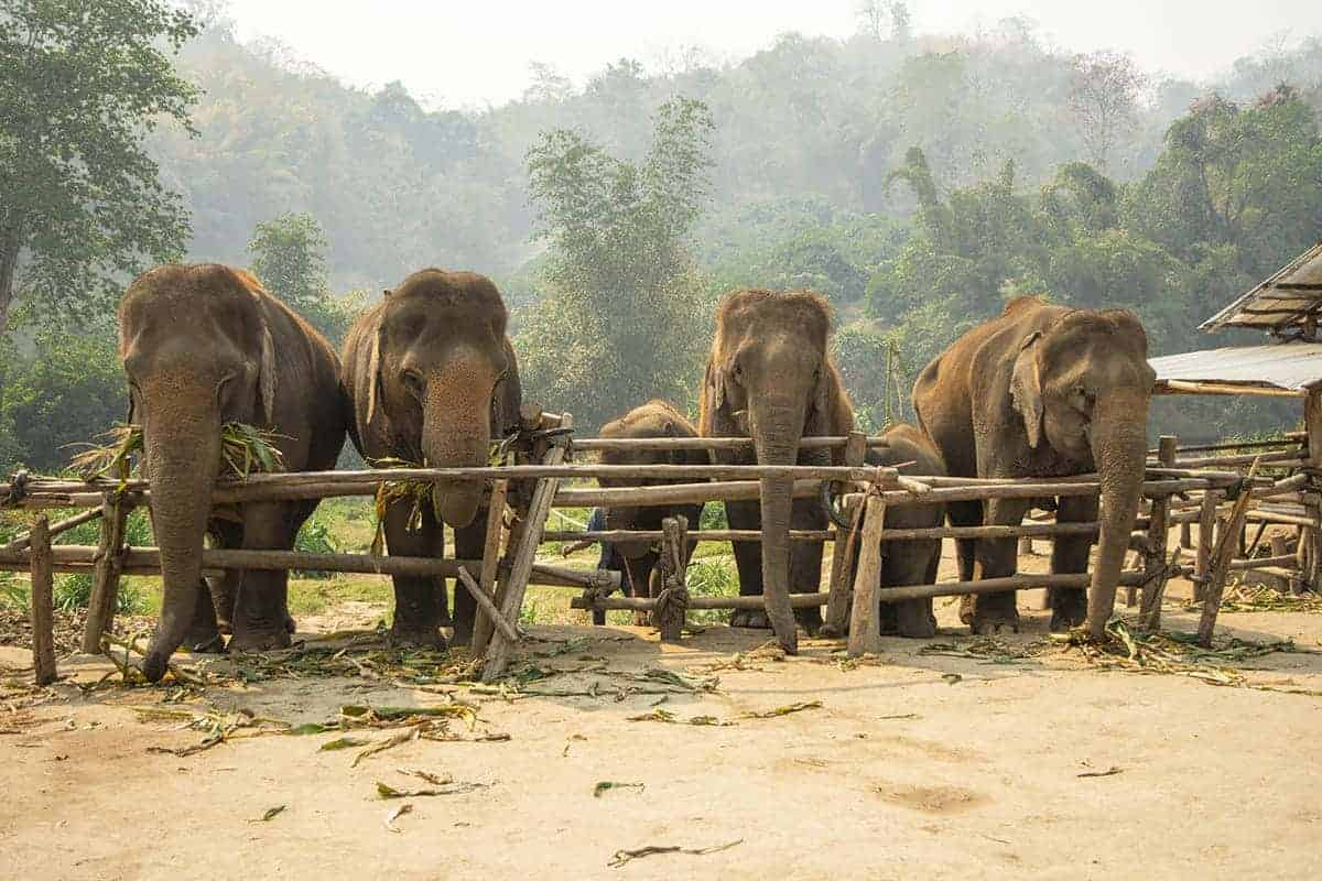 elephants lined up at one of elephant nature parks projects